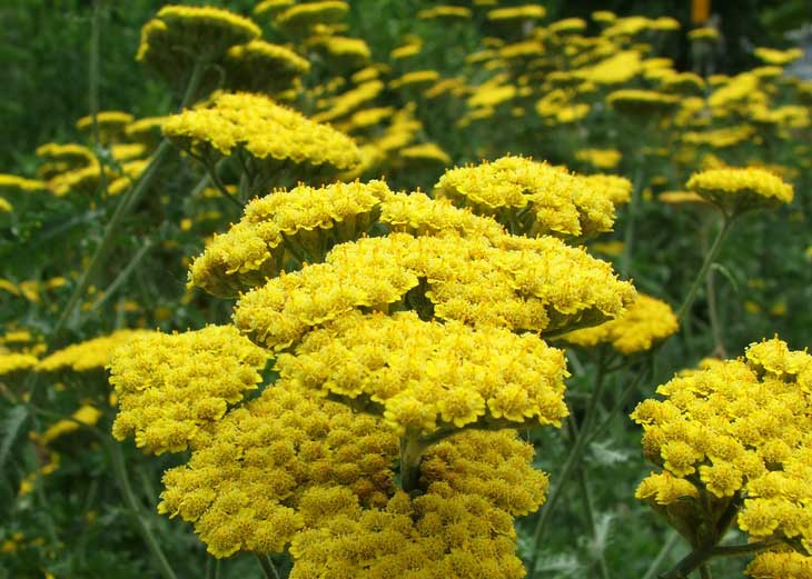 Achillea (Yarrow): Summer Flower with a Military History