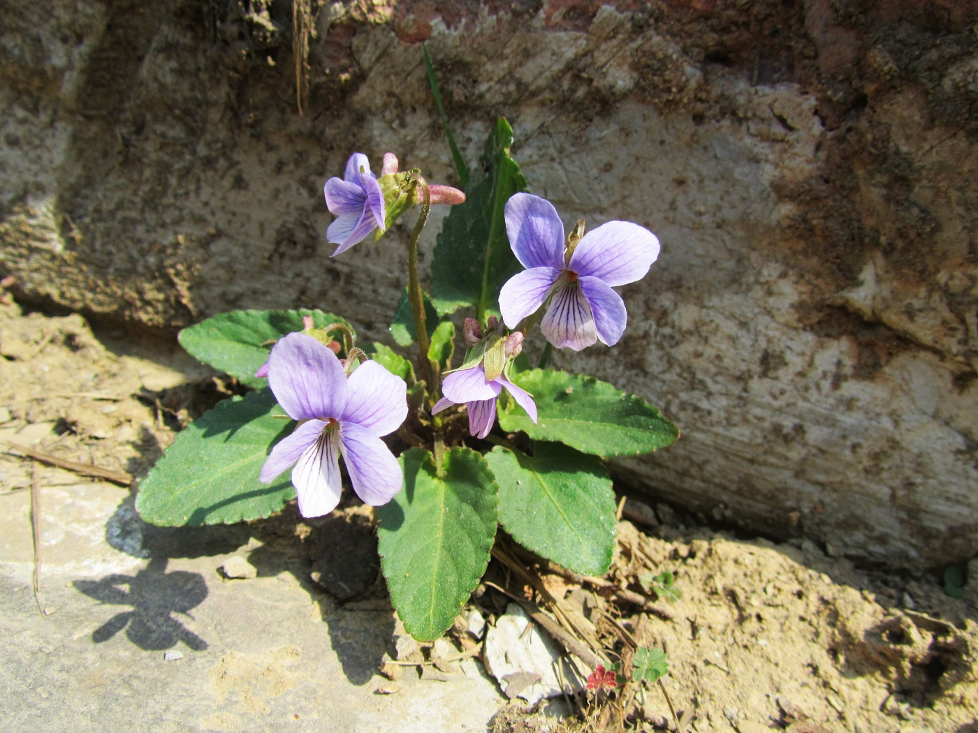 Lone violet growing in dirt - Did flowers bloom more than 50 million years earlier than we thought?