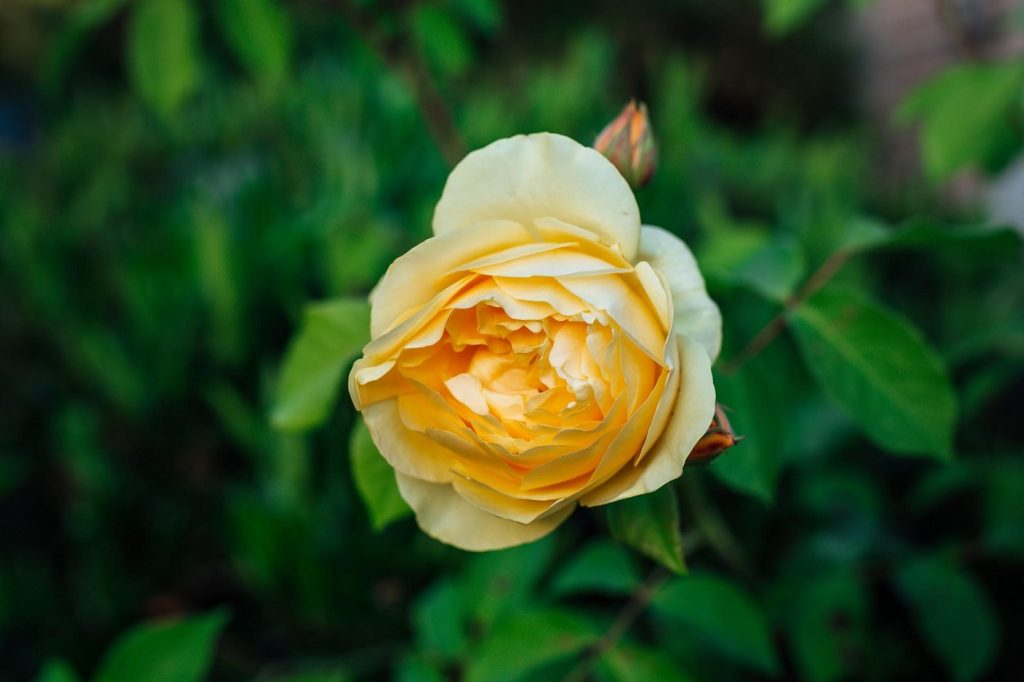 English rose - A guide to choosing the right roses for any occasion