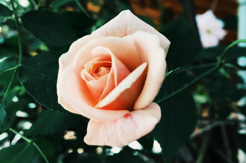 Hybrid tea rose - A guide to choosing the right roses for any occasion