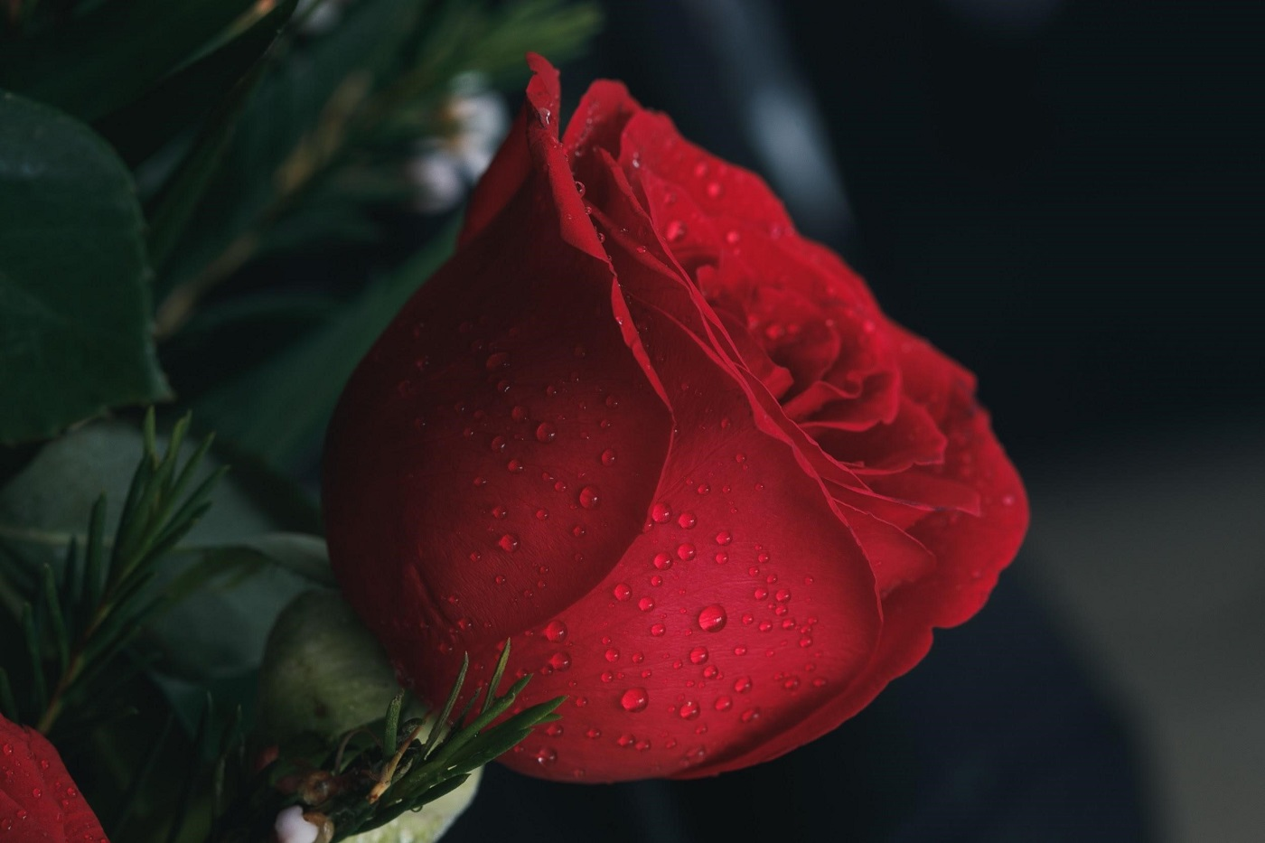 Red rose - A guide to choosing the right roses for any occasion