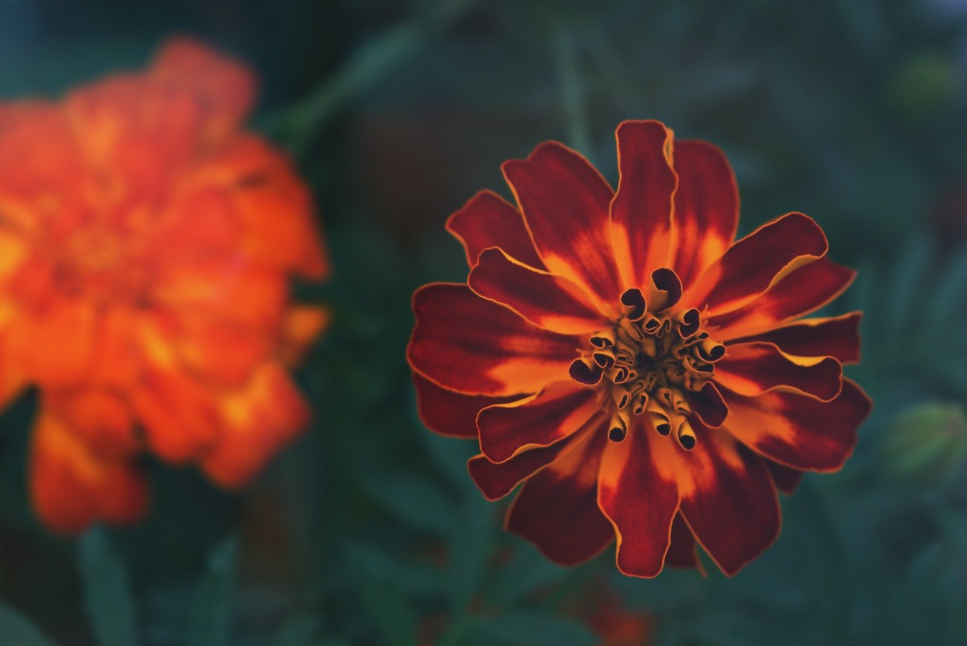 close-up of marigold - we reminisce about summer flowers