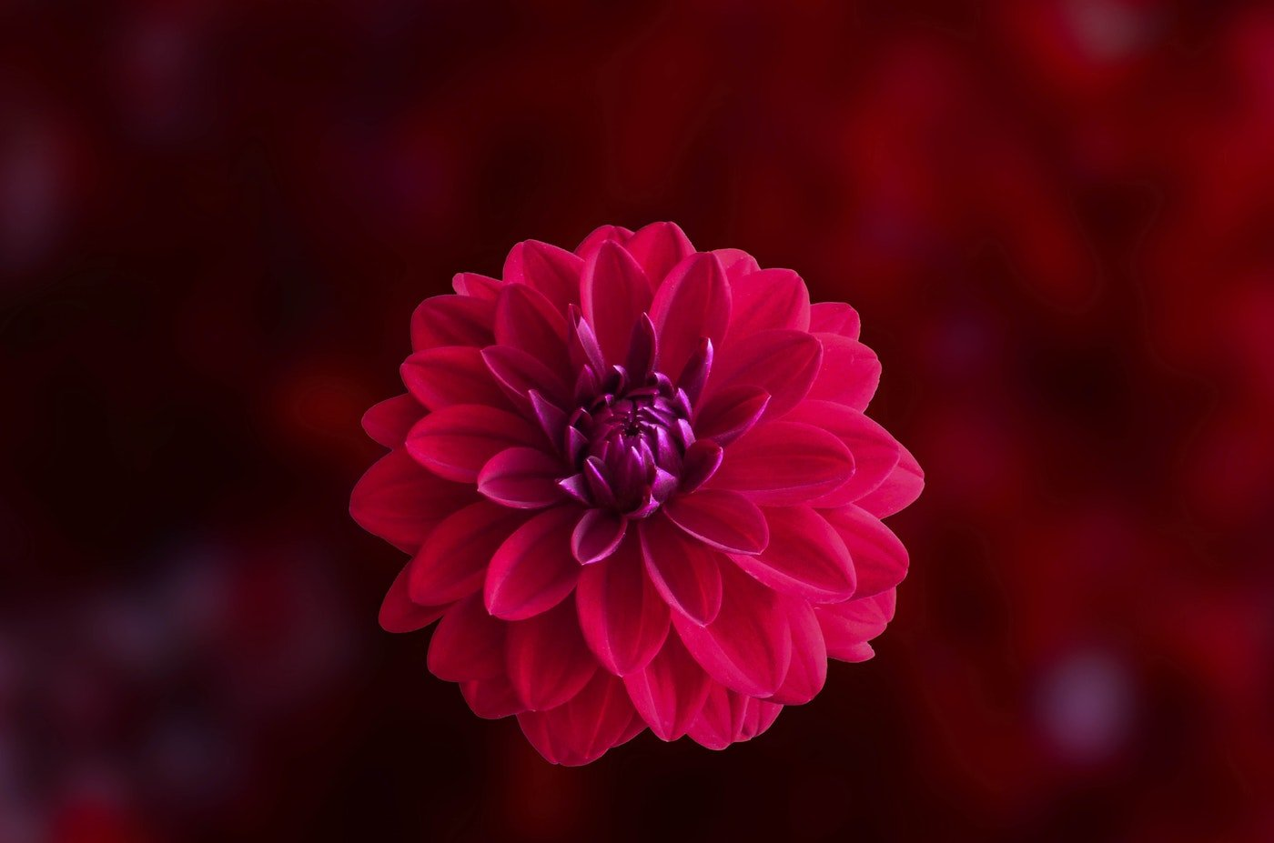 close-up of red dahlia - we reminisce about summer flowers